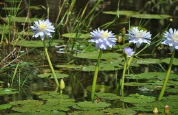1.1330732979.lovely-water-lillies