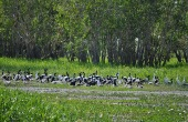 1.1330732979.wild-magpie-geese