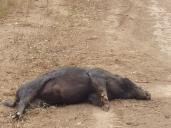 Wild Pig - Long sleep