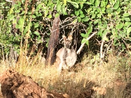 Mareeba Wallaby